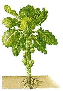 Spruit-plant